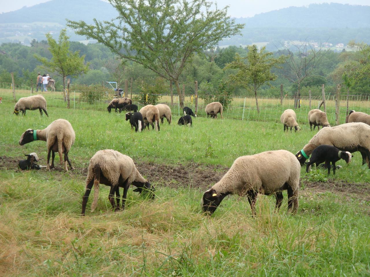 Moutons de la ferme des Pratz